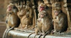 Disneynature's Monkey Kingdom..Ph: Film Frame..?Disneynature 2015